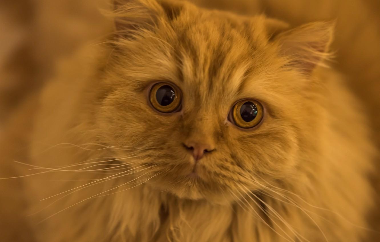 Фото обои кот, усы, взгляд, рыжий, мордочка, глазища, рыжий кот