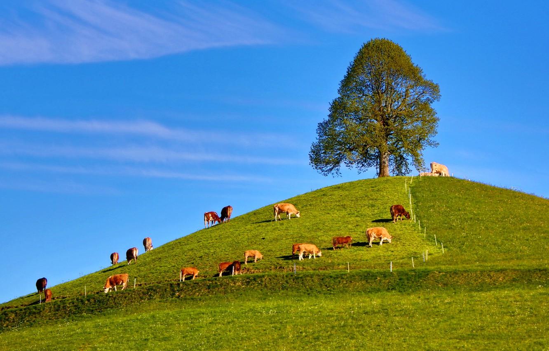 Фото обои небо, трава, дерево, коровы, холм, стадо