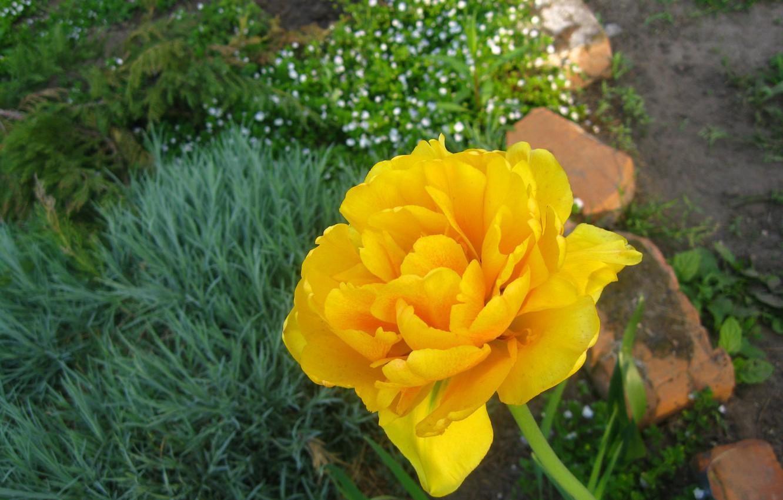 Фото обои зелень, цветок, камни, жёлтый, мак, тюльпан, лепестки, стебель, клумба, листки, эшшольция, горный мак