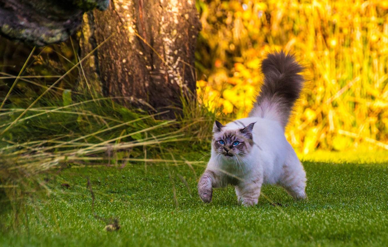 Обои котёнок, прогулка, пушистый. Кошки foto 9