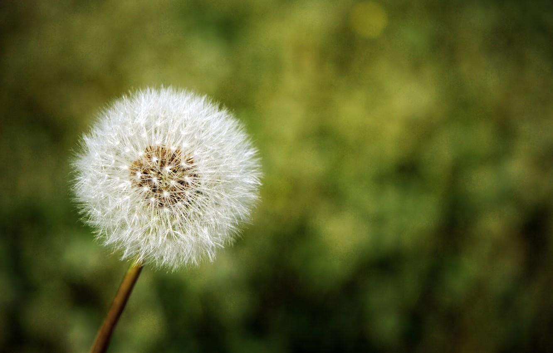 Фото обои цветок, природа, одуванчик