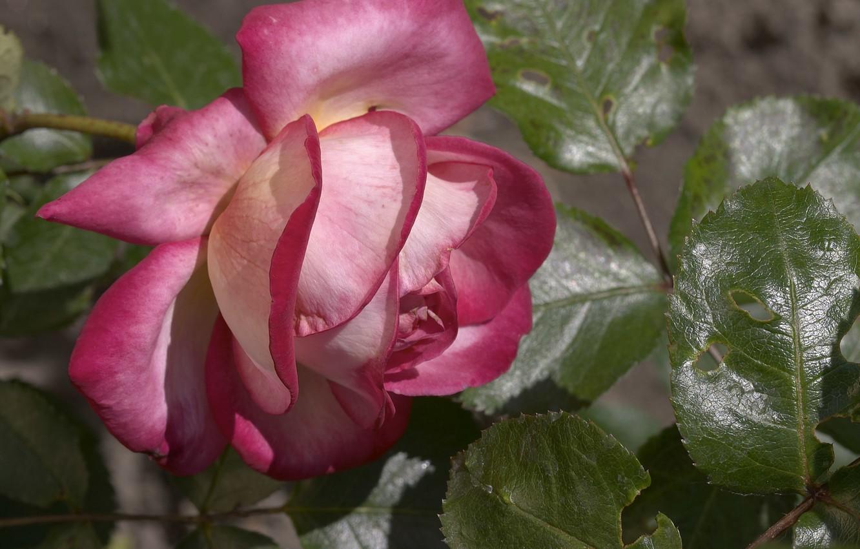 Фото обои листья, обои, роза, лепестки