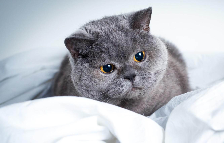 картинки с серыми кошками на рабочий стол кошек, которые пробираются