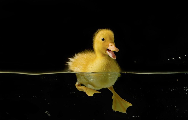 Фото обои вода, птицы, природа, черный, утёнок, утка