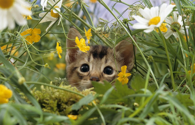 Фото обои кошка, трава, макро, природа, котенок, поляна, ромашки, луг