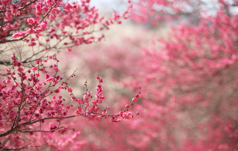 Фото обои цветы, ветки, природа, фон, розовый, фокус, весна, Сакура, цветение, веточки