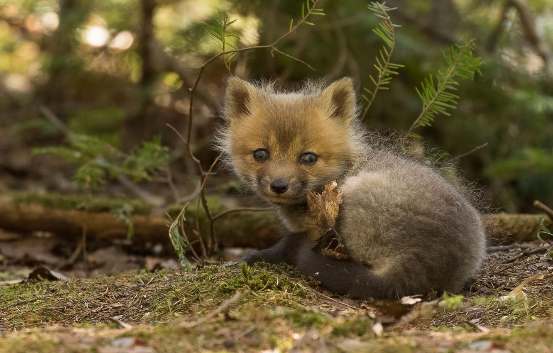 Фото обои взгляд, малыш, лиса, детёныш, лисёнок