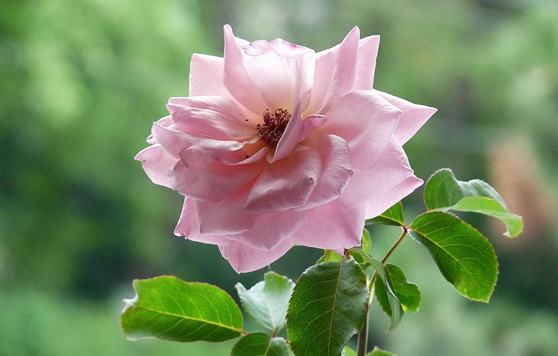 Фото обои листья, фон, розовая, роза, чайная