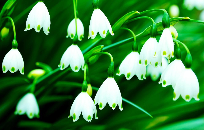 Фото обои белый, цветы, зеленый, фон, обои, wallpaper, цветочки, колокольчики, широкоформатные, flowers, background, полноэкранные, HD wallpapers, широкоэкранные
