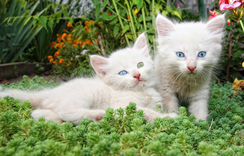 Фото обои цветы, котята, белые, парочка