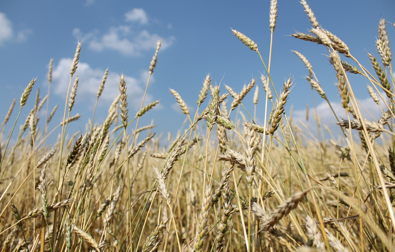 Фото обои пшеница, лето, рожь, пиво, июль, 2016
