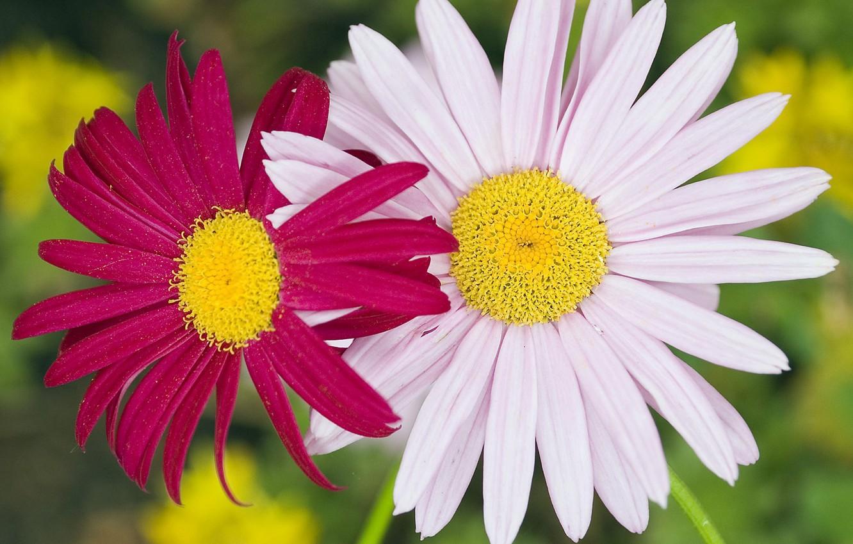 Фото обои макро, цветы, пыльца, розовая, ромашки, пара, белая