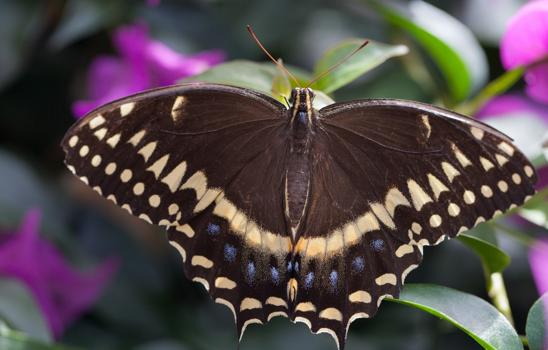 Фото обои макро, бабочка, крылья