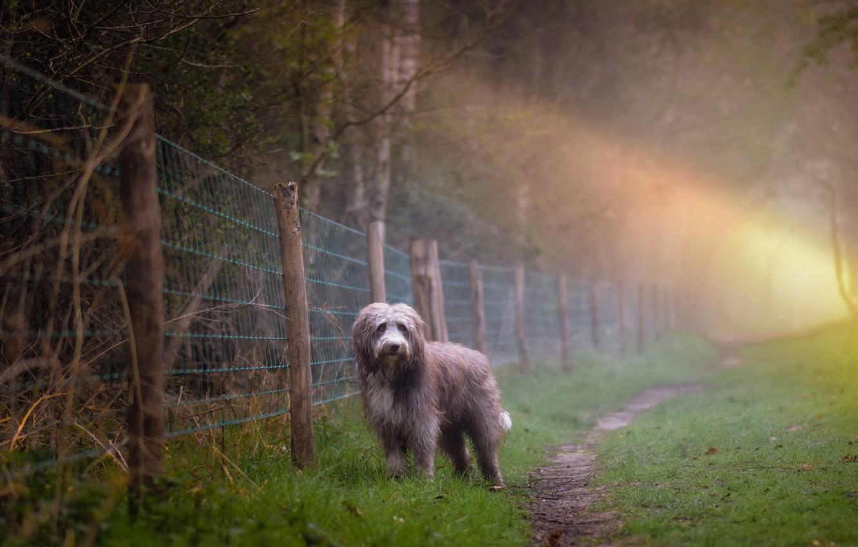 Фото обои туман, собака, утро