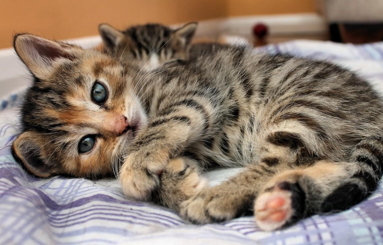Фото обои глаза, взгляд, полоски, котенок, кровать, Кошка, лежит