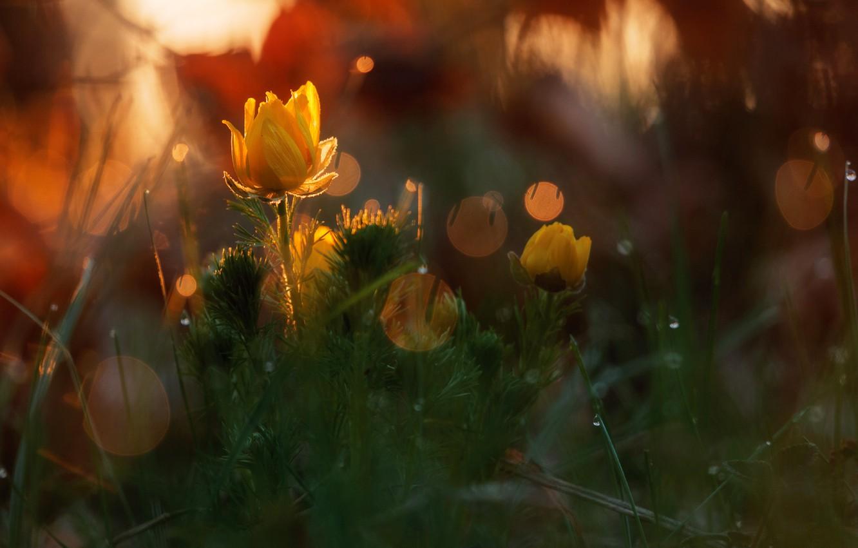 Фото обои лес, капли, макро, свет, цветы, природа, блики, весна, боке, Адонис