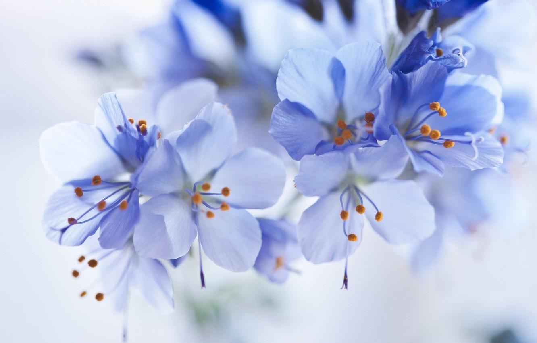 Фото обои макро, цветы, голубой, нежность, красота, бутон