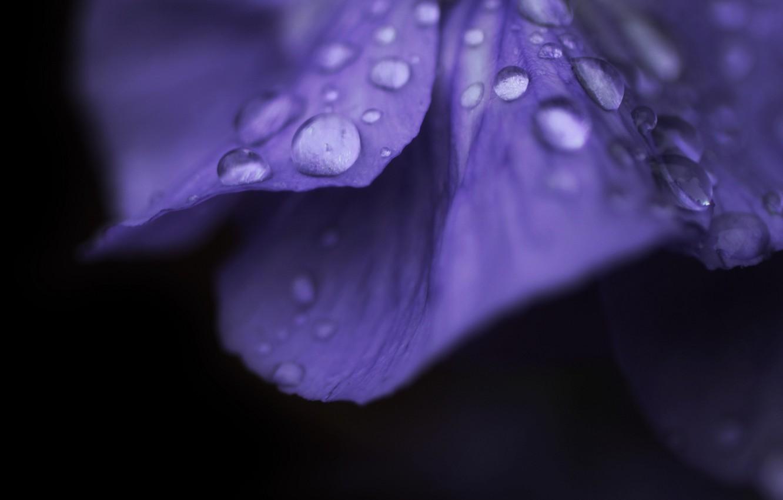 Фото обои цветок, фиолетовый, вода, капли, макро, цветы, роса, фон, розовый, widescreen, обои, капля, лепестки, wallpaper, flower, …