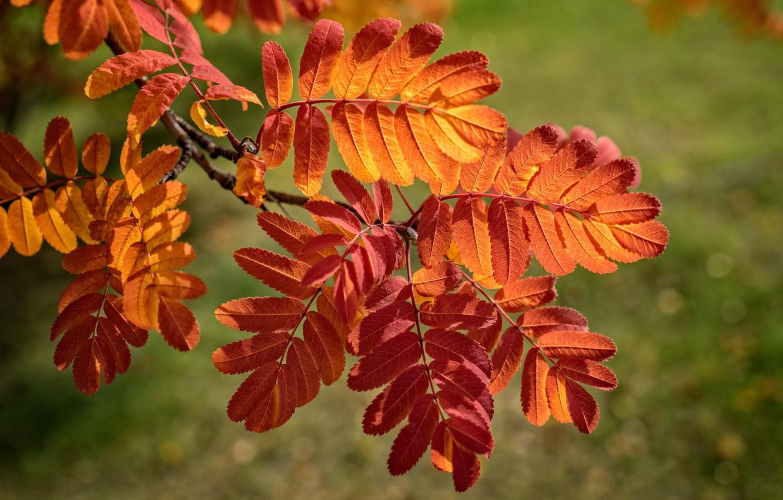 Фото обои осень, листья, ветка, багрянец