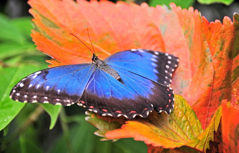 Фото обои макро, оранжевый, яркий, листок, Бабочка, синяя, осенний