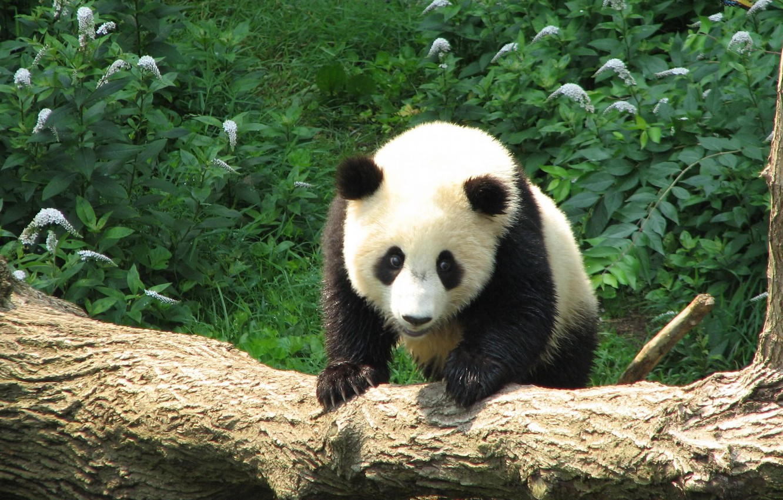 Высокое качество картинки панда