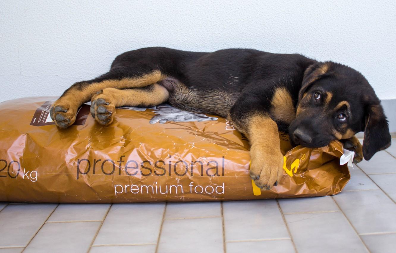 Фото обои взгляд, друг, еда, собака, немецкая овчарка
