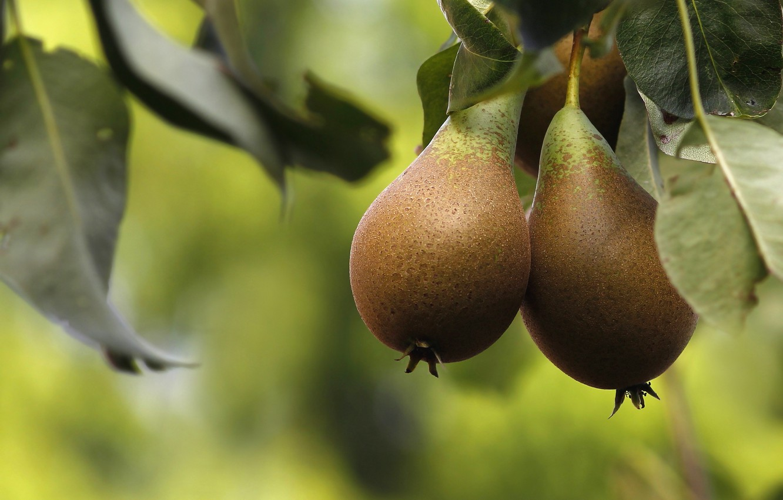 Картинка плода груши