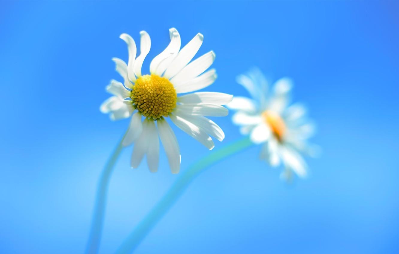 Фото обои Цветы, Ромашки, Windows_8