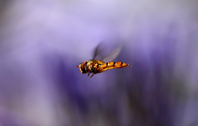 Фото обои макро, полет, фон, сиреневый, крылья, размытость, Насекомое