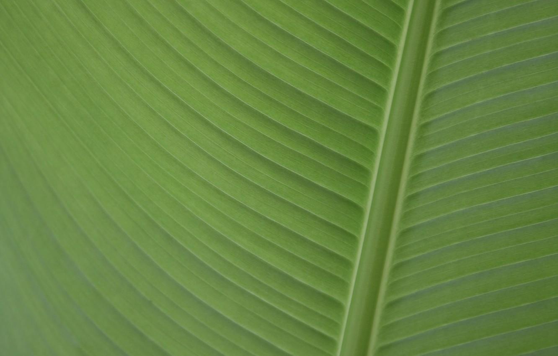 Фото обои banana, Leaf, banana leaf, palmengarten