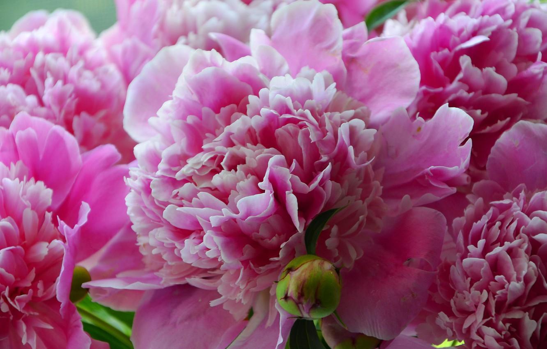 Фото обои лето, цветы, крупный план, зеленый, розовый, красиво, красивые обои, пионы, пион
