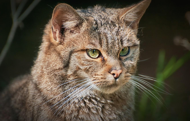 Фото обои взгляд, фон, портрет, европейский лесной кот