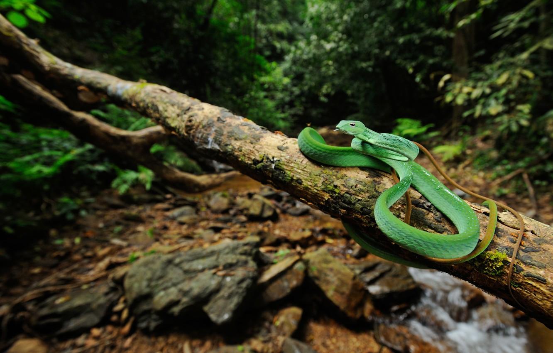 Фото обои лес, ручей, змея, ветка, живая природа