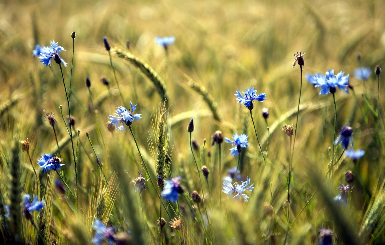 Фото обои поле, лето, цветы
