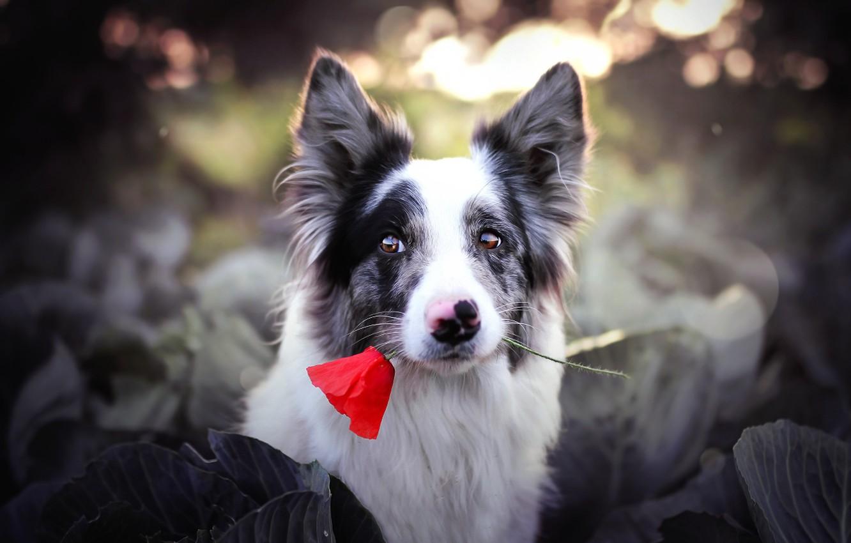 Фото обои цветок, взгляд, друг, собака