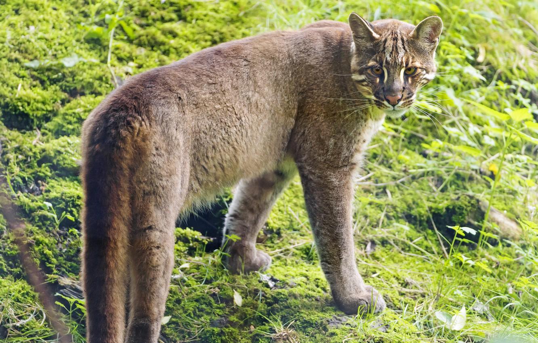 Фото обои кошка, ©Tambako The Jaguar, золотой кот, темминка