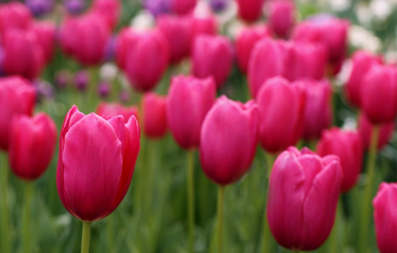 Фото обои поле, фокус, лепестки, размытость, тюльпаны, розовые, field, Tulips