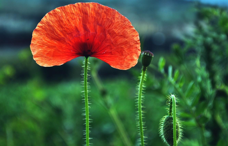 Фото обои поле, цветок, макро, красный, один, размытость, Мак, бутоны