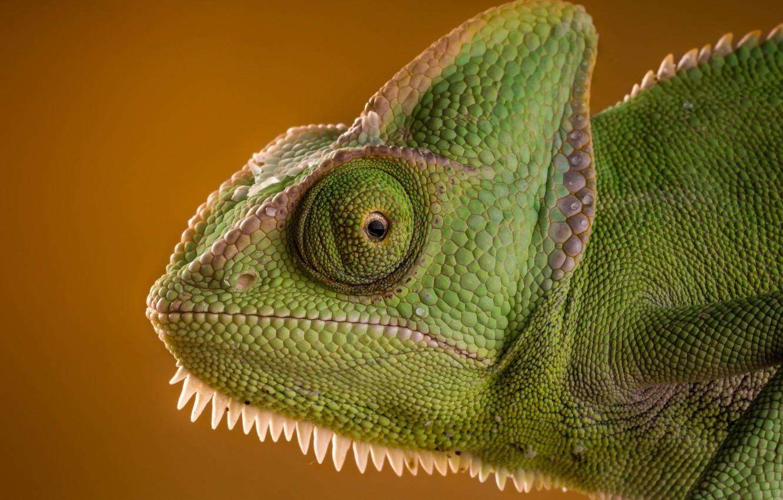 Фото обои морда, интерес, хамелеон, green, ящерица, eyes, beauty, ящерка, рептилия, chameleon, lizard, reptile