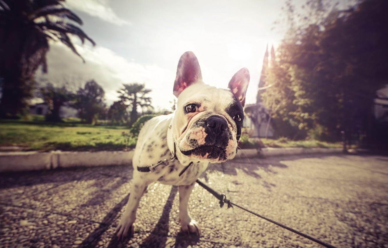 Фото обои улица, собака, мопс