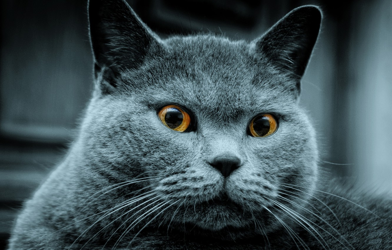 Фото обои кот, серый, увидел, кого-то