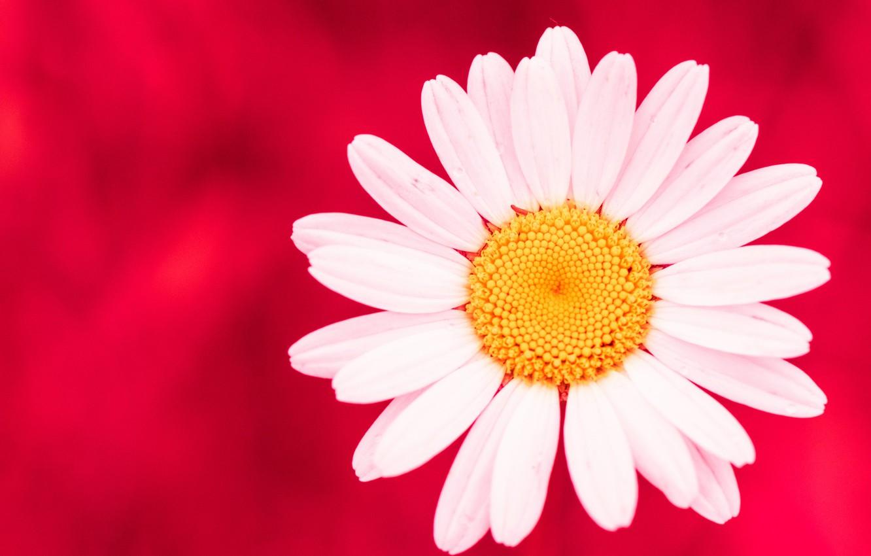 Фото обои цветок, фон, лепестки, ромашка