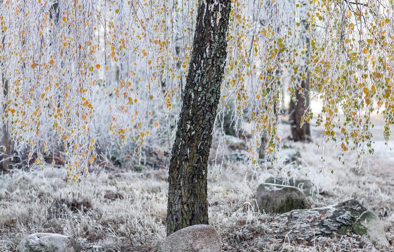 Фото обои иней, осень, листья, дерево
