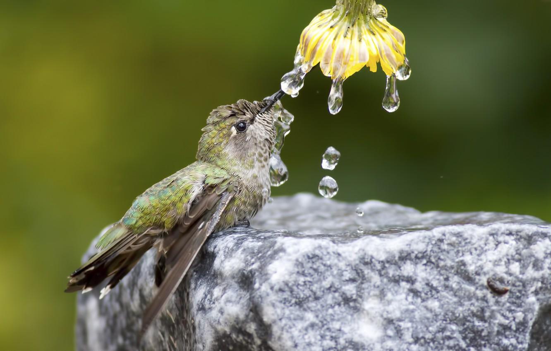 Фото обои цветок, вода, капли, природа, птица, камень, колибри
