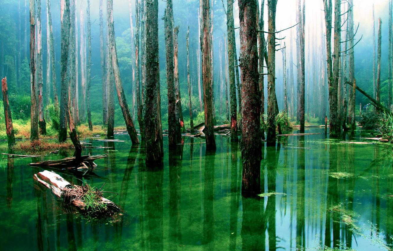 Фото обои лес, вода, деревья, природа, стволы, болото, сухие