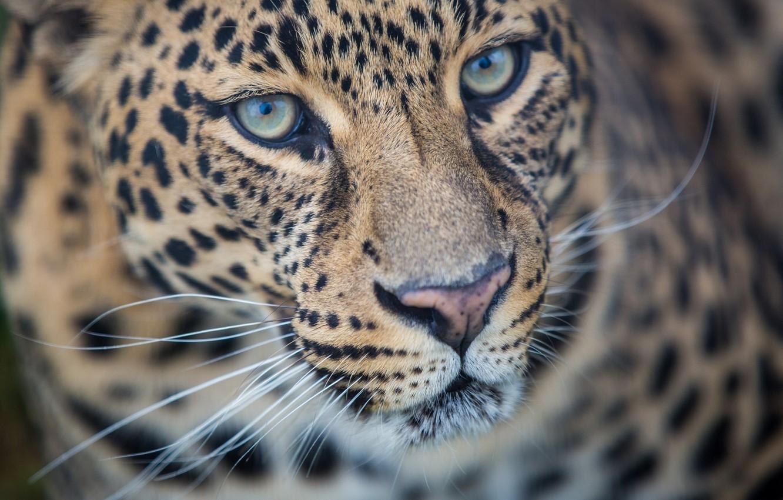 Фото обои морда, хищник, леопард, дикая кошка