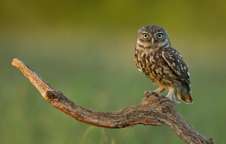 Фото обои взгляд, сова, птица, ветка