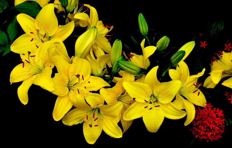 картинки желтых лилий одна