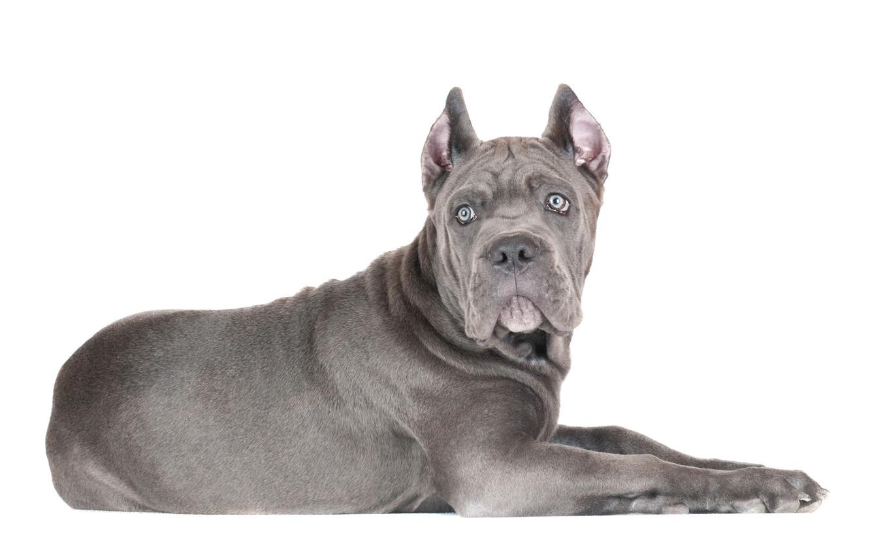 Фото обои взгляд, собака, щенок, белый фон, кане корсо