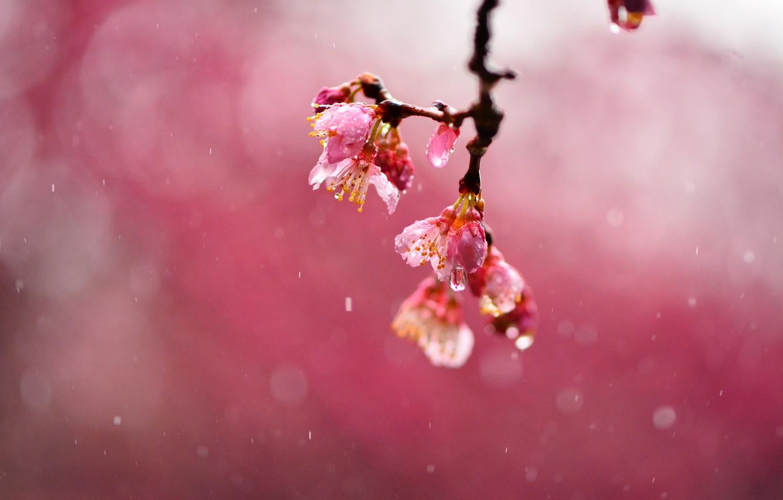 Фото обои капли, макро, цветы, вишня, дождь, фокус, ветка, размытость, сакура, розовые